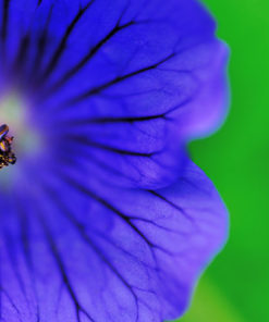 Close up picture of a blue Geranium Flower