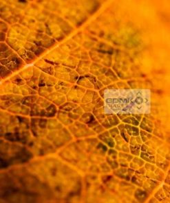 Texture and structure of a decaying brown leaf revealed by backlighting