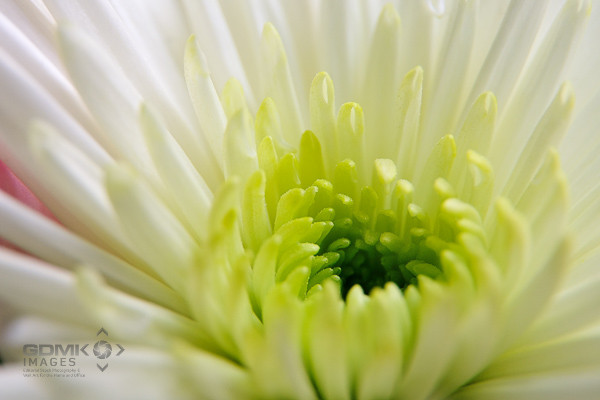 Close up of a Lime Green and White Chysanthemum Flower