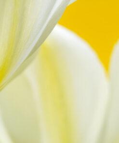Yellow and Creme Tulips
