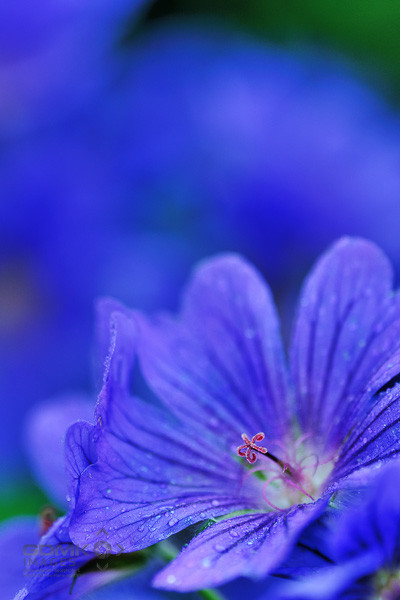 Close up picture of a blue Geranium Flower