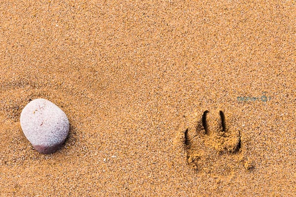 Dogs pawprint on a sandy beach next to a single stone