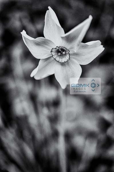 Black and white Daffodil