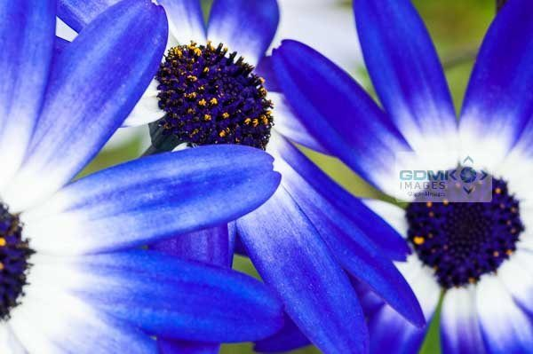 Blue Osteospermum African Daisy flowers