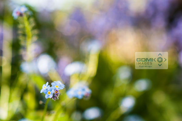 Close up details of a blue Forget Me Not flower against a blurred garden scene in the background