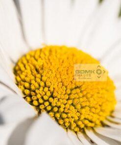Closeup of a Leucanthemum vulgare or Oxeye Daisy flowerhead