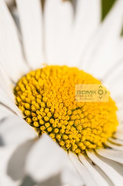 Closeup of a Leucanthemum vulgare or Oxeye Daisy flowerhead