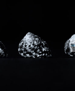 Black and white closuep of three seashells in a line