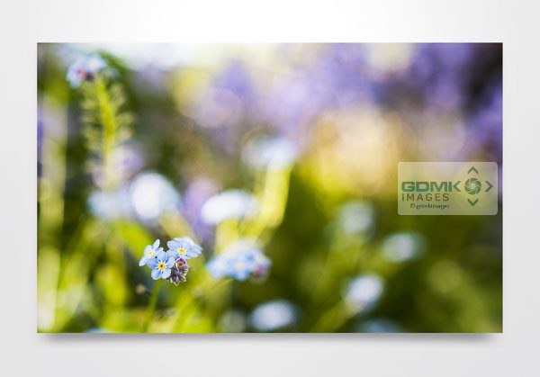 Forget Me Not Flower Wall Art Print