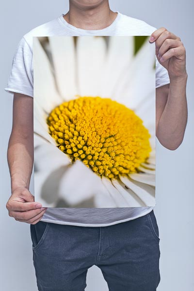Man Holding Oxeye Daisy Flower Closeup Wall Art Print