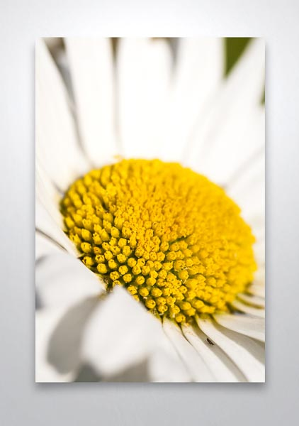 Oxeye Daisy Flower Closeup Wall Art Print