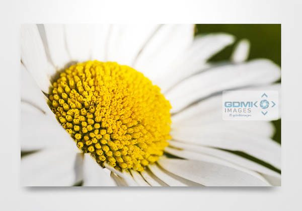 Oxeye Daisy Flower Wall Art Picture