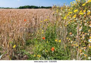 wildflowers-growing-at-the-edge-of-a-field-of-almost-ripe-corn-E5DXBN