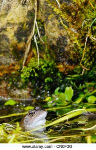 A frog looking out from a garden pond